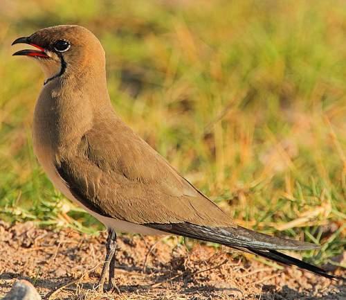 Indian birds - Image of Collared pratincole - Glareola pratincola