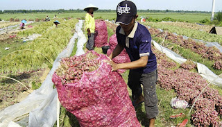 petani bawang merah,harga bawang merah langsung dari petani