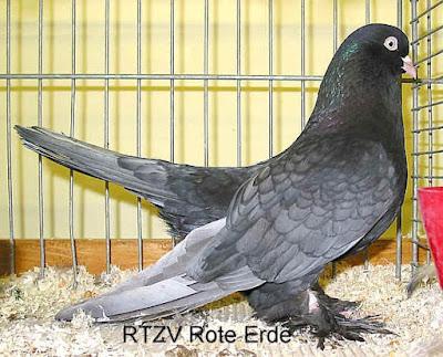 pigeon pics - Rouleur de Perse