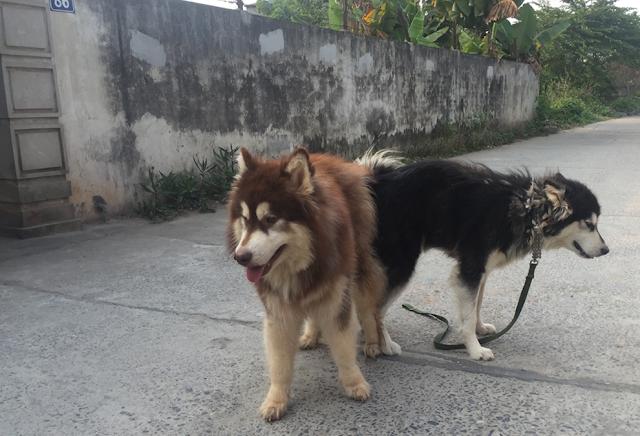 Quy trình phối giống chó alakas bạn đã biết hay chưa?
