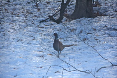 rooster pheasant in Winter