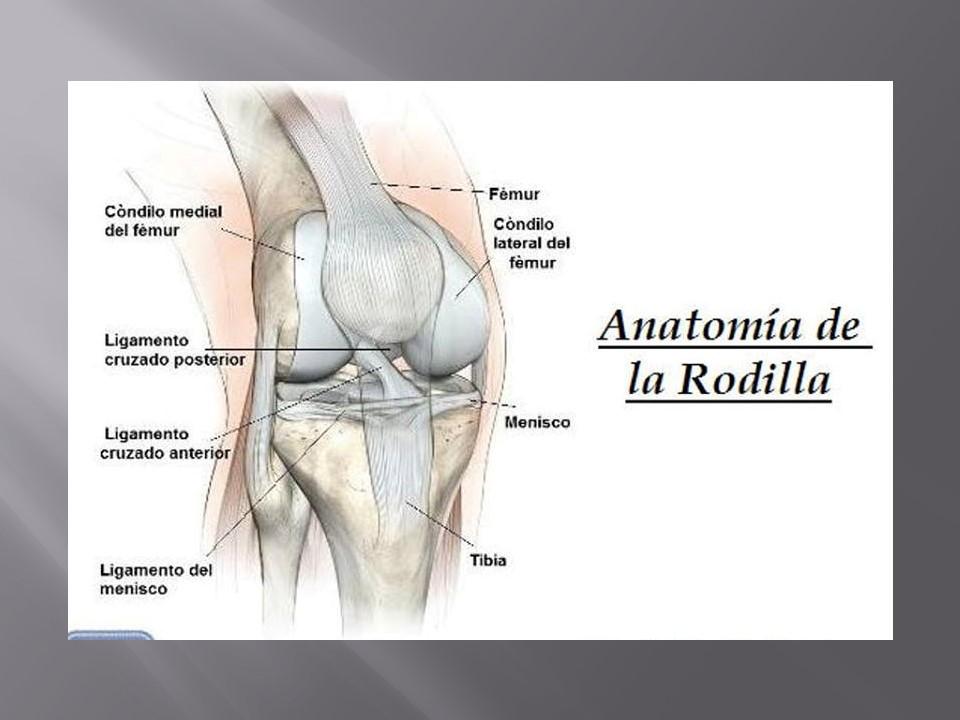 Excepcional Anatomía Del Ligamento Cruzado Anterior Ilustración ...