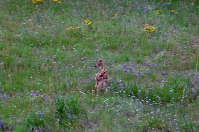 whitetail fawn in field of hoary alyssum, hairy vetch and hoary puccoon, mid-June 2016