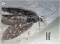 http://sciencythoughts.blogspot.co.uk/2013/09/a-caddisfly-from-middle-jurassic-of.html