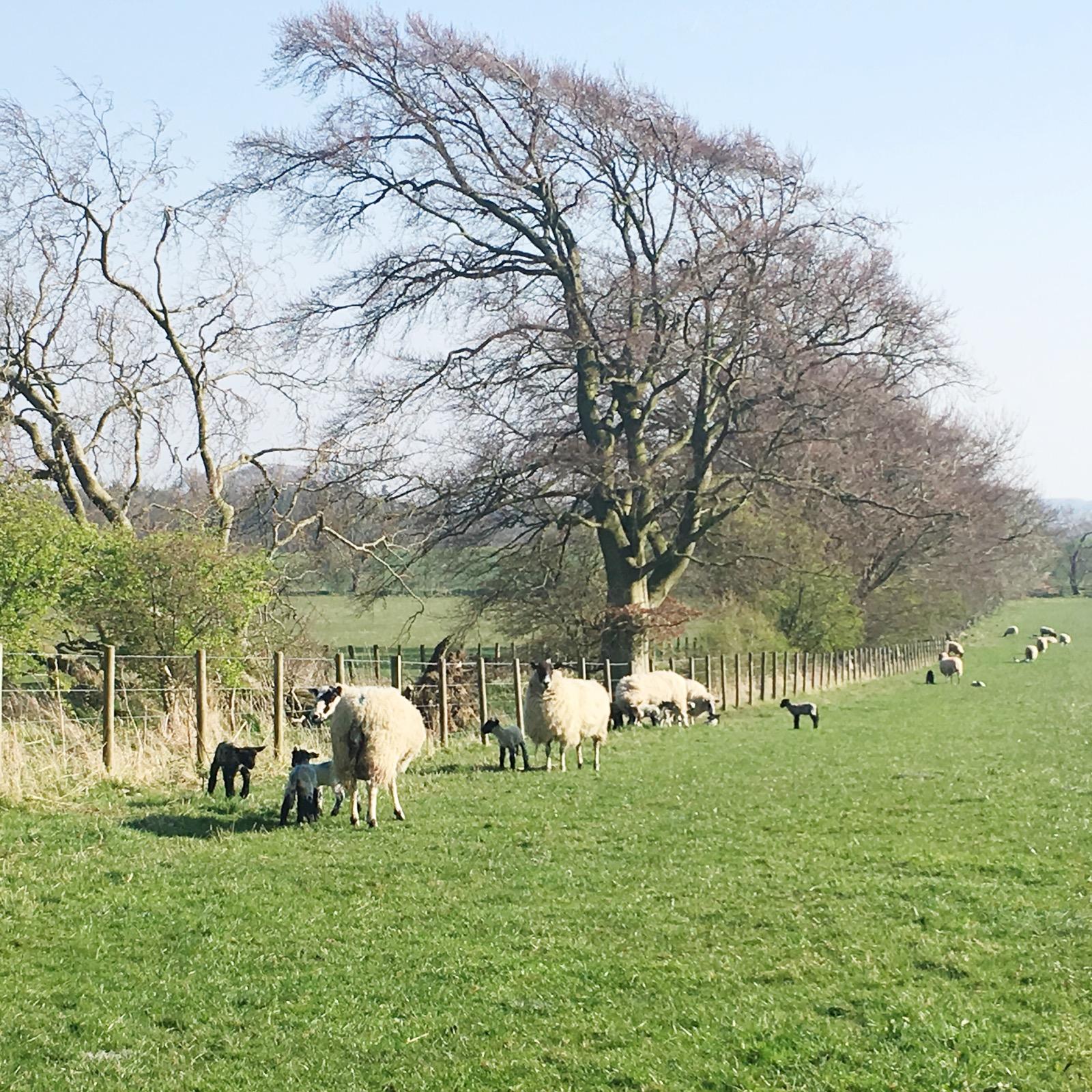April Days - National Trust Lambs