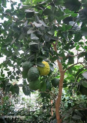 citron, Citrus medica