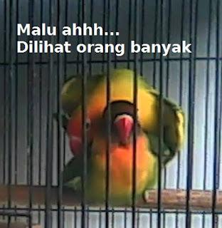 cara menjodohkan lovebird
