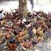 Akibat Cuaca Panas 800 Ekor Ayam Mati Sehari