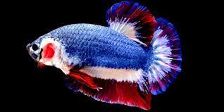 foto ikancupang