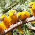 Segundo grupo de ararajubas é solto no Parque Estadual do Utinga