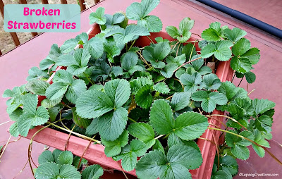 Strawberry Plants with no Berries