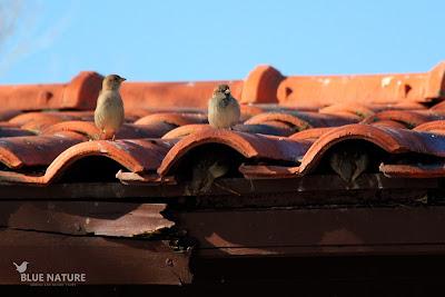 Grupo de gorriones comunes (Passer domesticus) en un tejado donde han colocado sus nidos.