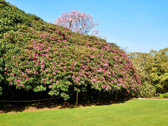 Rhododendrons at Heligan, Cornwall