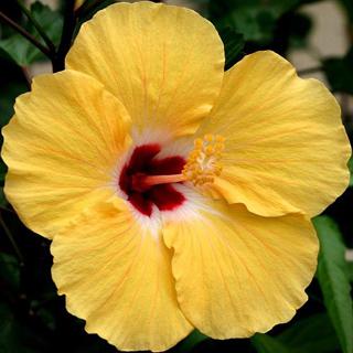 Hibiscos amarillo - Solo Nuevas