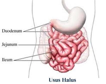 Gambar anatomi usus halus