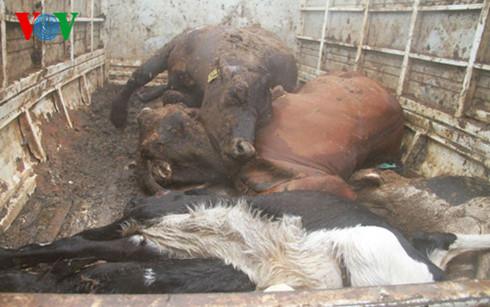 Gia Lai: Phát hiện xe tải chở 7 con bò chết thối đi tiêu thụ