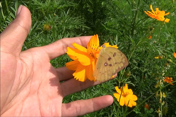 Dlium Chocolate grass yellow (Eurema sari)