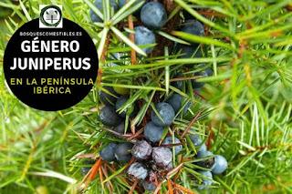 El género Juniperus son arboles perennifolios, sus portes son muy variables, con copas  aovadas o cónicas
