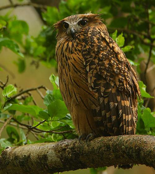 Birds of India - Photo of Tawny fish owl - Ketupa flavipes