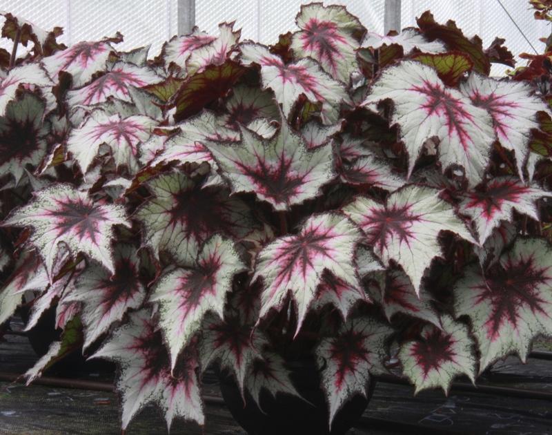 Begonia 'Silver Spirit' (Dibley's Nurseries)
