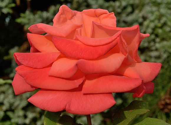 Christoph Colomb сорт розы Мейян фото