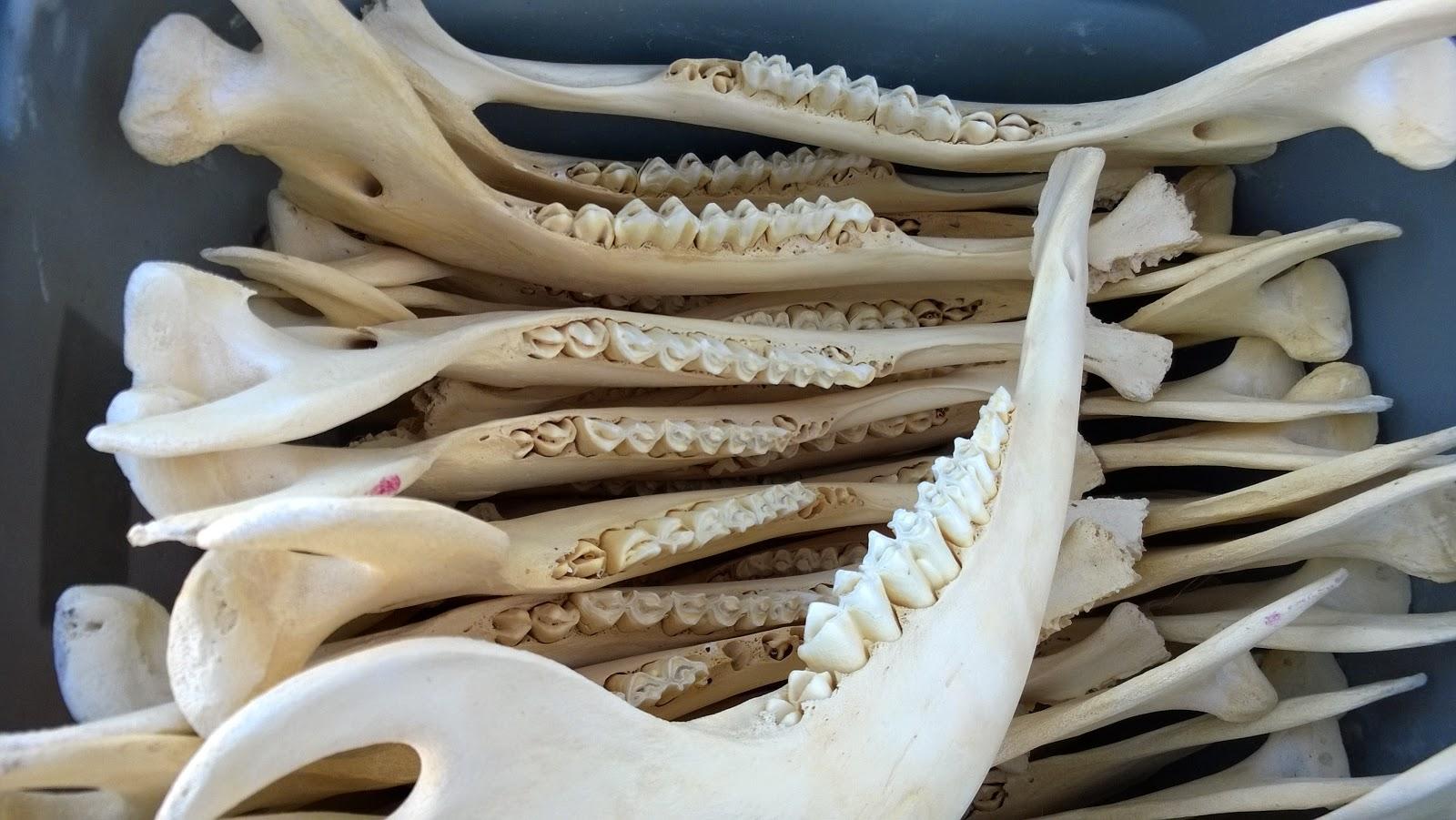 cattle jaw bones