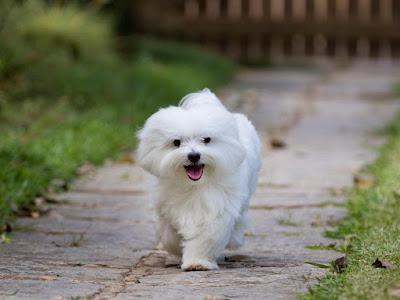 perro maltes jardin