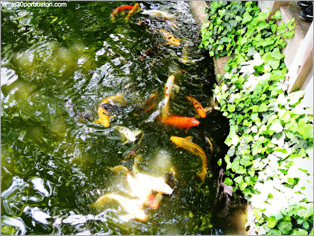 Peces Koi del Jardín Japonés de Fort Worth