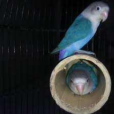 Fungsi Glodok Bambu Untuk Lovebird