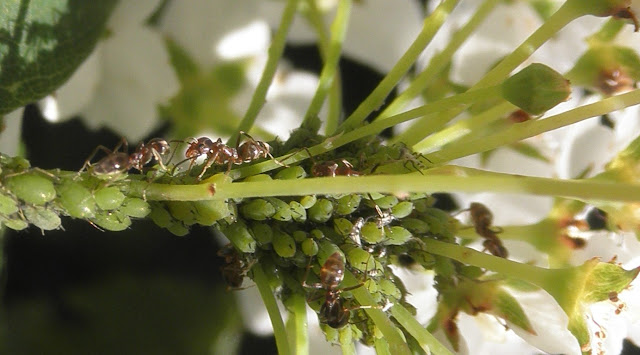 Hormigas y pulgón verde,en una planta de Spirea.