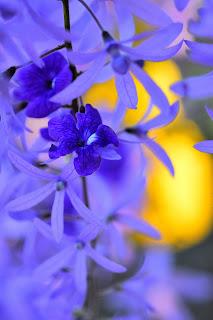 queen's wreath flowers
