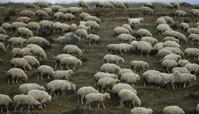Ilmuwan Ciptakan Embrio Hibrida Manusia-Domba