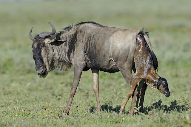 Wildebeest facts and information 5