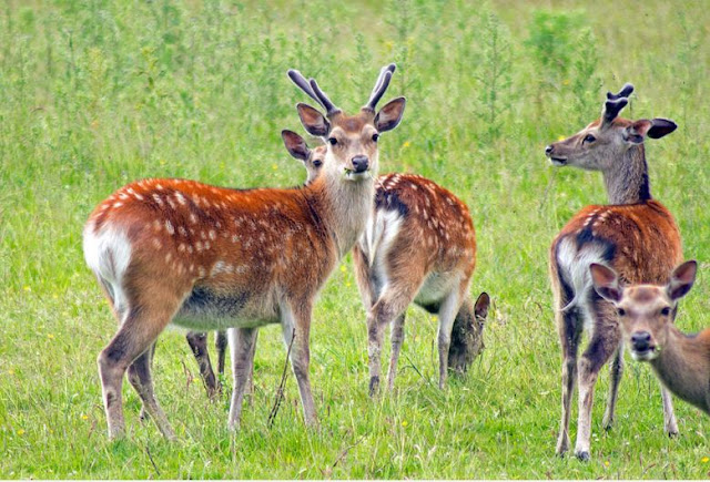 Buy artwork of Fallow Deer