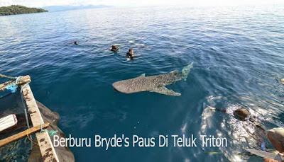 Berburu Bryde's Paus Di Teluk Triton