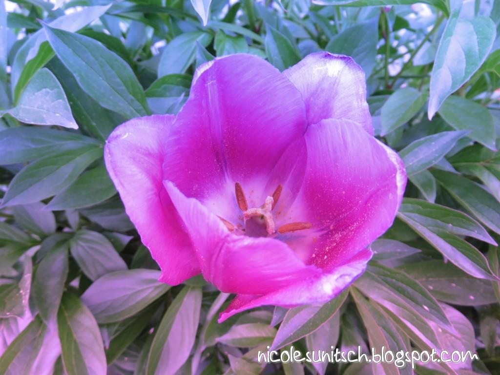 Gedichte Von Nicole Sunitsch Autorin Schnappschuss Tulpen