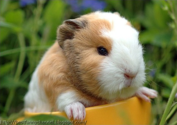 Small cute  guinea pig.
