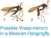 https://sciencythoughts.blogspot.com/2015/12/possible-wasp-mimcry-in-mexican.html