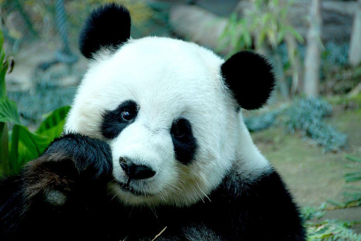 Funny Pictures Gallery: Panda, Giant Panda, Panda Free