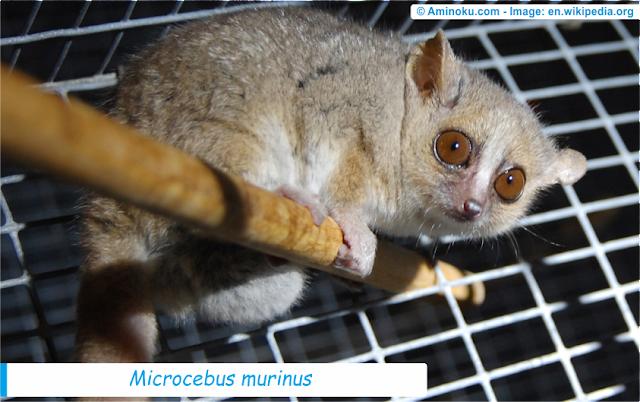 Fakta unik lemur tikus abu-abu