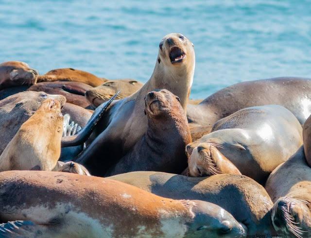 EE.UU: En Oregón sacrifican leones marinos para proteger a los salmones