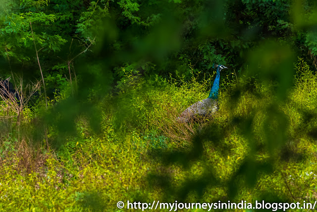 Trichy Wild Peacocks
