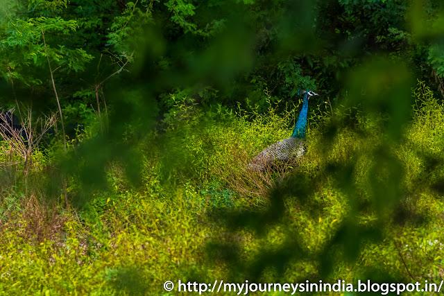Trichy Wild Peacocks