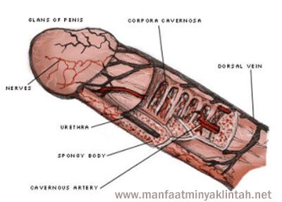 anatomi penis / alat vital