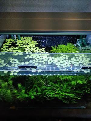 透明塩ビで作成したキャノピー。浮草が観察しやすい。