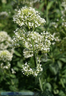 Centranthus ruber alba - Centranthus ruber 'Albus' - Valériane des jardins à fleur blanche