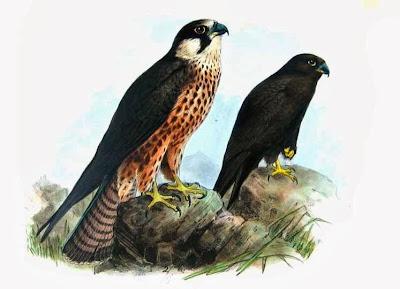 Halcón de Eleonor Falco eleonorae
