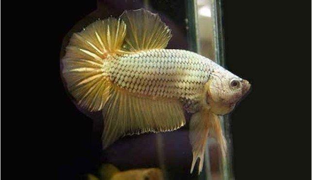 Ini Dia Ciri Fisik Ikan Cupang Adu Gaya Bertarung Slugger