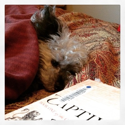 A fuzzy grey poodle, Murchie, lays with his body tucked under a red tapestried comforter. His right ear sticks straight up into the air. In front of him is a paperback copy of Captive Prince. The visible portion of its cover features pale pink bricks.