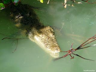 Crocodile de la réserve naturelle de Rio Lagartos au Mexique